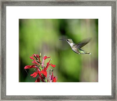Female Ruby-throated Hummingbird Dsb0320 Framed Print