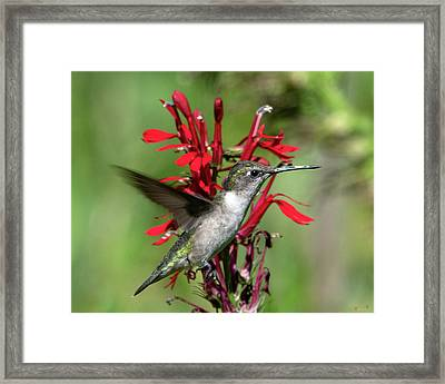 Female Ruby-throated Hummingbird Dsb0325 Framed Print