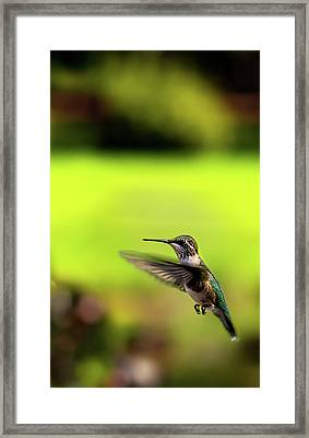 Framed Print featuring the photograph Female Ruby Wings Forward by Onyonet  Photo Studios