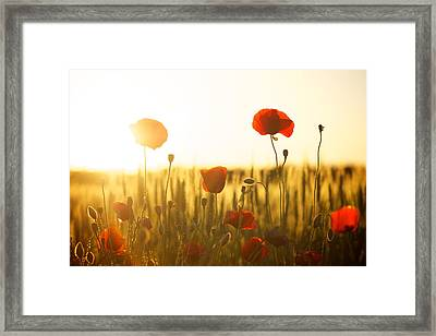 Field Of Poppies At Dawn Framed Print