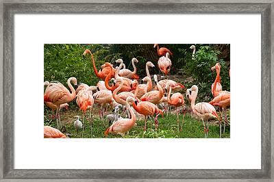 Flamingos Outdoors Framed Print