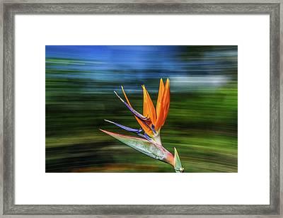 Flying Bird Of Paradise Framed Print