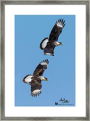 Flying Caracaras Framed Print
