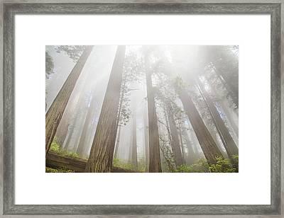Fog In The Redwoods Framed Print