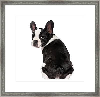 French Bulldog Puppy 3 Months Old Framed Print by Life On White