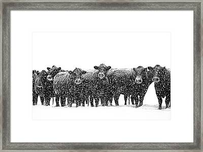 Frosty Faces Black Angus Cows Montana Framed Print