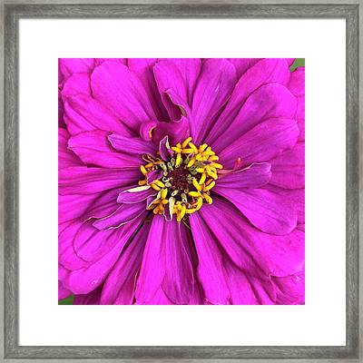 Fuschia Bloom Framed Print