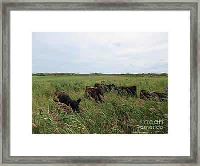 Galloway Cows On Texel North Holland Framed Print