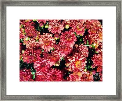 Framed Print featuring the photograph Garnet Fall Mums by Rachel Hannah