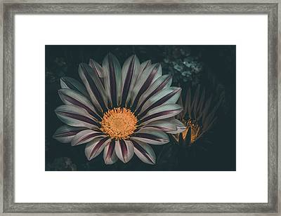Gazania Gaze Framed Print