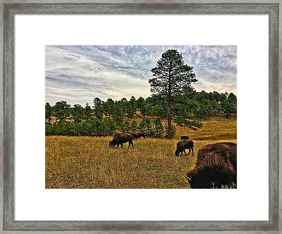 Framed Print featuring the photograph Genesee Bison Herd by Dan Miller