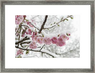 Germany, Munich, Snow Covered Cherry Framed Print by Westend61