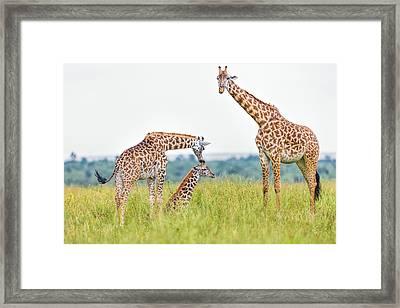 Giraffe Family Framed Print by 1001slide