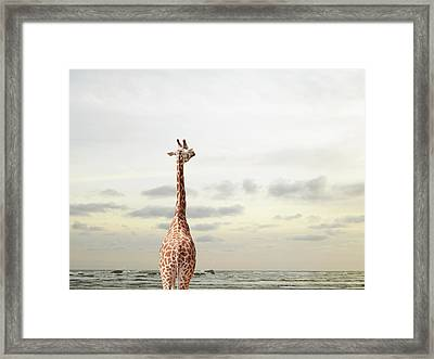 Giraffe Looking Out To Sea Framed Print by Richard Newstead