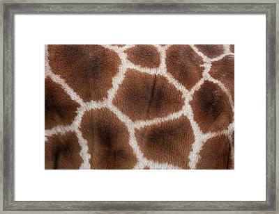 Giraffes Skin Texture Framed Print by Andrew Dernie
