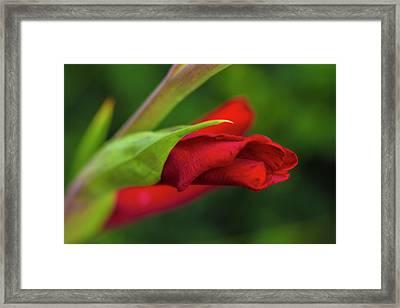 Gladiolus Framed Print