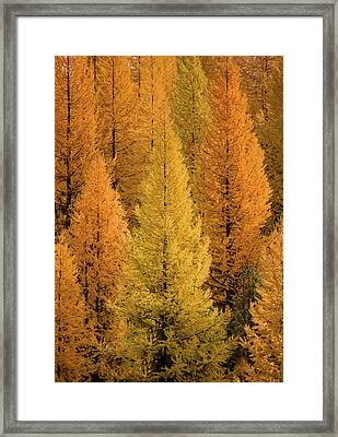 Framed Print featuring the photograph Gold Tamaracks / Seeley Lake, Montana  by Nicholas Parker