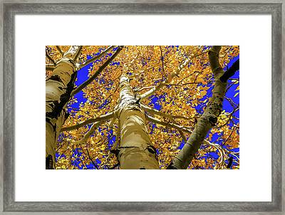 Golden Aspens In Grand Canyon Framed Print