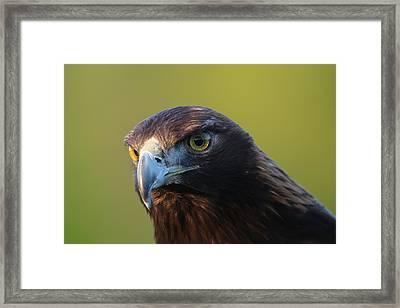 Golden Eagle 5151802 Framed Print