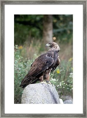 Golden Eagle On Rock 92515 Framed Print