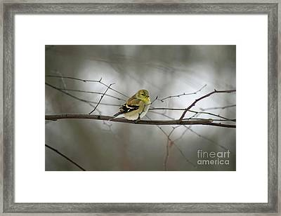 Goldfinch In Winter Looking At You Framed Print