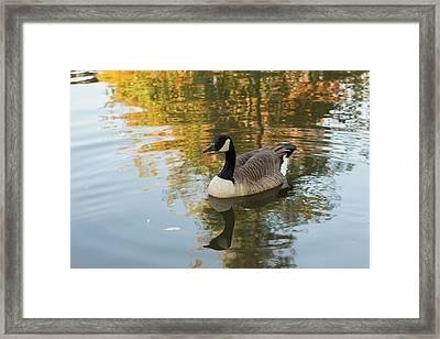 Framed Print featuring the photograph Goose Reflecting In Water by Scott Lyons
