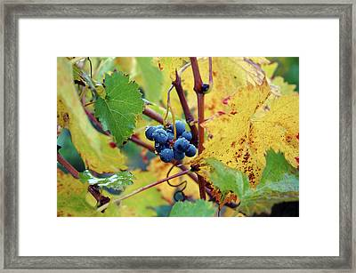 Framed Print featuring the photograph Grapes In Tuscany by Mark Duehmig