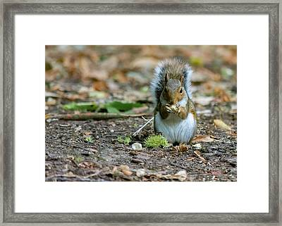 Framed Print featuring the photograph Gray Squirrel Stood Upright Eating A Nut by Scott Lyons