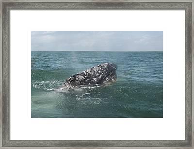 Gray Whale In Bahia Magdalena Framed Print