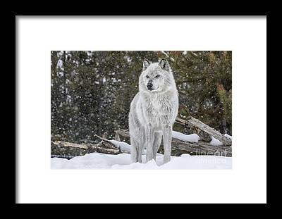 Designs Similar to Gray Wolf by David Osborn