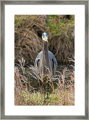 Great Blue Heron Portrait Framed Print