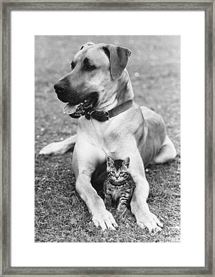 Great Dane And Kitten Framed Print by John Pratt
