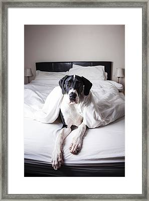 Great Dane On A Bed Framed Print by Claire Plumridge
