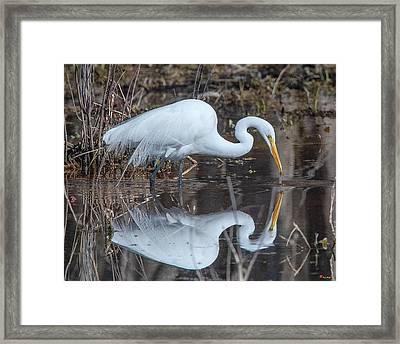 Great Egret In Breeding Plumage Dmsb0154 Framed Print