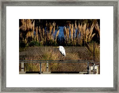 Great Egret Posing By Golden Pampas Grass Framed Print