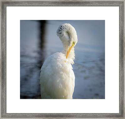 Framed Print featuring the photograph Great Egret - Preening Time by Ricky L Jones