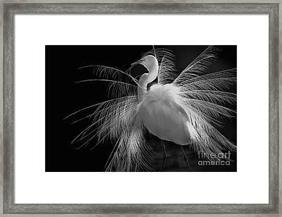 Great White Egret Portrait - Displaying Plumage  Framed Print