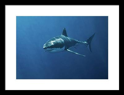 Sharks Framed Prints