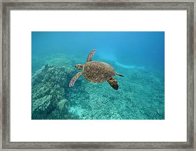 Green Sea Turtle, Big Island, Hawaii Framed Print by Paul Souders