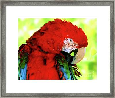 Green-winged Macaw Framed Print