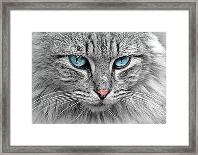 Grey Cat With Blue Eyes Framed Print