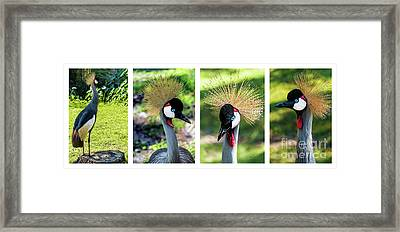 Grey Crowned Crane Gulf Shores Al Collage 1 Framed Print