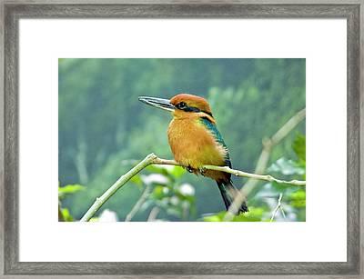 Guam Micronesian Kingfisher Framed Print