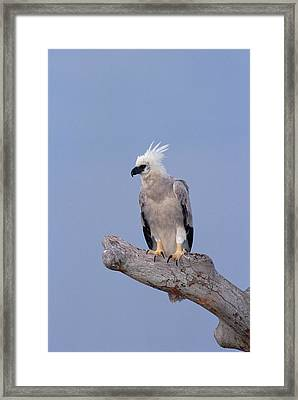 Harpy Eagle Harpia Harpyja, Eight Month Framed Print by Tui De Roy/ Minden Pictures