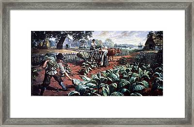 Harvesting Tobacco In Early Virginia Framed Print by Hulton Archive