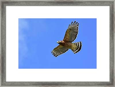 Hawk On The Go Framed Print