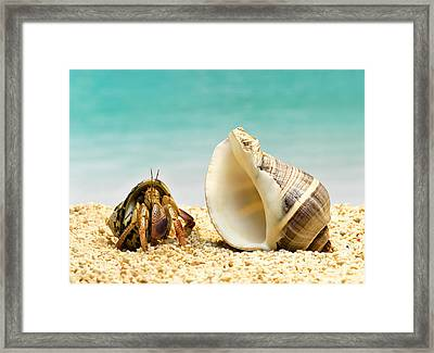 Hermit Crab Looking At Larger Shell Framed Print by Jeffrey Hamilton