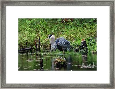 Heron In Beaver Pond Framed Print