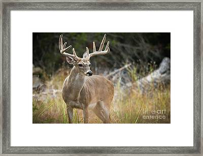Hill Country Whitetail Framed Print