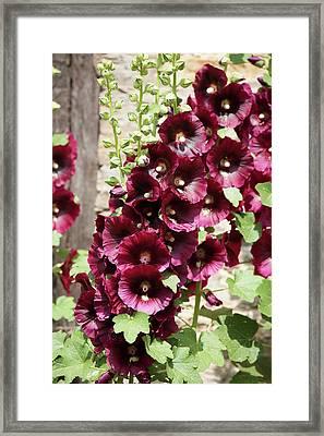 Hollyhocks Framed Print by Andrew Dernie
